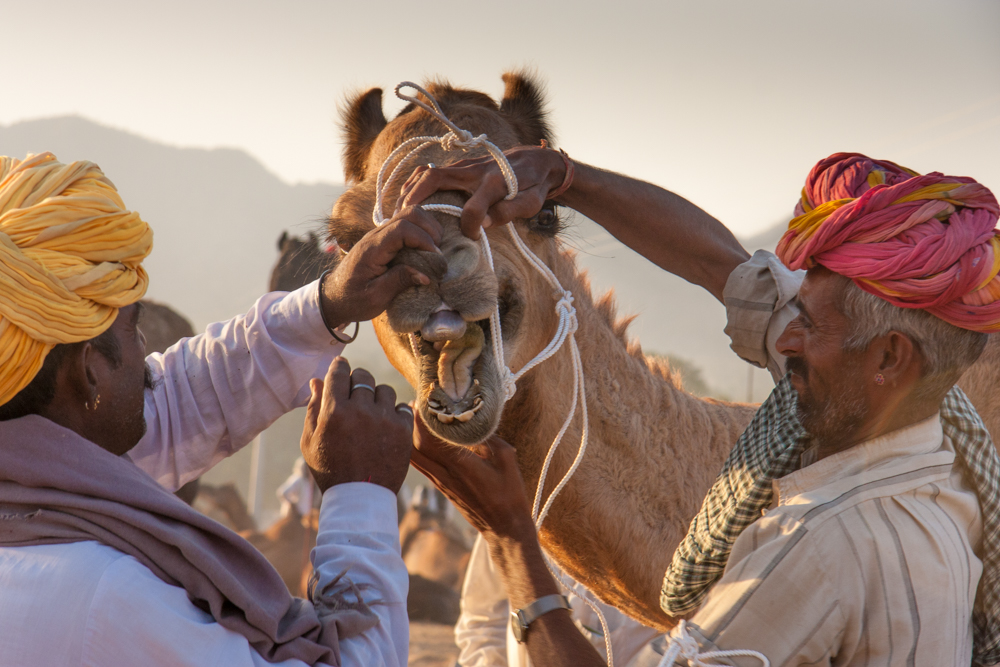Places to see in India: Pushkar Camel Fair: When purchasing a camel, be sure to check the teeth.